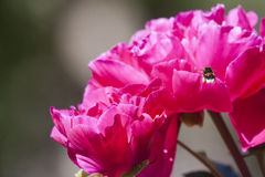 Manosee la abeja y peaony Fotografía de archivo