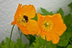 Manosee la amapola de madera que visita de la abeja - DOF selectivo (el diphyllum del Stylophorum) Fotografía de archivo libre de regalías