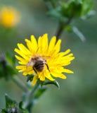 Manosee la cabeza de la abeja primero en las alas de la parte posterior del diente de león Foto de archivo