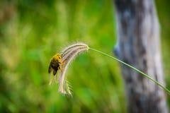 Manosee la captura de la abeja en hierba de las flores Fotografía de archivo
