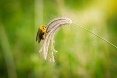 Manosee la captura de la abeja en hierba de las flores Imagen de archivo