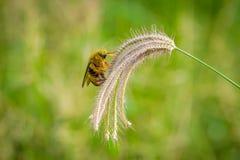 Manosee la captura de la abeja en hierba de las flores Fotos de archivo libres de regalías