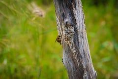 Manosee la captura de la abeja en un tocón seco Imagen de archivo