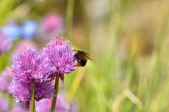 Manosee la carda mechera de la abeja en las cebolletas Fotos de archivo