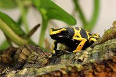 Manosee la caza de la rana del dardo del veneno de la abeja Foto de archivo