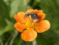Manosee la cesta del polen de la abeja Imagen de archivo libre de regalías
