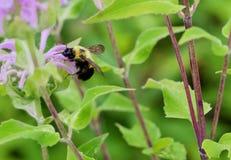 Manosee la cosecha de la abeja Fotos de archivo libres de regalías