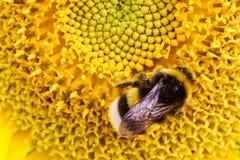 Manosee la donadora de polen de la abeja que recoge el polen en la superficie de disco de un girasol fresco amarillo Fotografía de archivo libre de regalías