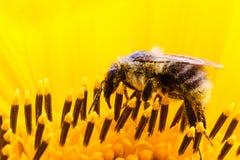 Manosee la donadora de polen de la abeja que recoge el polen en la superficie de una macro fresca amarilla del extremo del giraso Fotografía de archivo libre de regalías