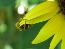 Manosee la ejecución de la abeja sobre los pétalos del girasol Imagenes de archivo