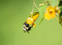 Manosee la ejecución de la abeja en la flor del Jewelweed Fotografía de archivo libre de regalías