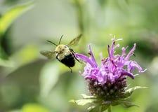 Manosee la flor de Baum de la abeja de la forma del vuelo de la abeja Fotografía de archivo libre de regalías