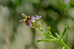 Manosee la flor de la abeja Fotos de archivo libres de regalías