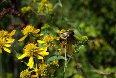 Manosee la flor del amarillo de la abeja Foto de archivo libre de regalías