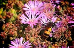 Manosee la flor del rosa de la abeja fotos de archivo libres de regalías