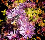 Manosee la flor del rosa de la abeja imagen de archivo