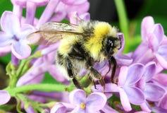Manosee la macro de la abeja Fotografía de archivo
