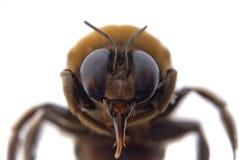Manosee la macro de la pista de la abeja Foto de archivo libre de regalías