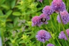 Manosee la piel de ante de la abeja atada en las cebolletas Fotografía de archivo