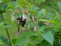 Manosee la planta de polinización del arándano de la abeja Fotos de archivo libres de regalías