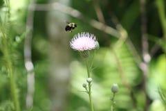 Manosee la polinización de la abeja en primavera Imágenes de archivo libres de regalías