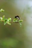Manosee la ramificación [cetrina] de la abeja y del gatito-sauce Imágenes de archivo libres de regalías