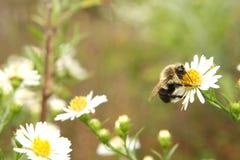 Manosee la reclinación de la abeja Imagen de archivo libre de regalías