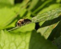 Manosee la reclinación de la abeja Fotos de archivo