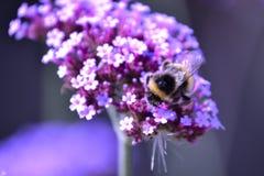 Manosee la recogida de la abeja foto de archivo