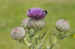 Manosee las abejas en cardo lanoso Fotos de archivo