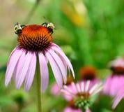 Manosee las abejas en coneflower Imagen de archivo libre de regalías