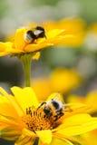 Manosee las abejas en los girasoles en verano Imagen de archivo