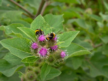 Manosee las abejas y x28; Bombus& x29; en las flores del thislte Fotos de archivo libres de regalías