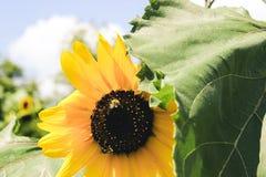 Manosee las abejas y los girasoles Imagenes de archivo