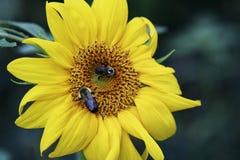 Manosee las abejas y los girasoles en el jardín Foto de archivo libre de regalías