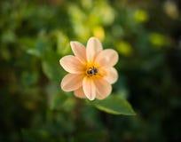 Manosee las alimentaciones de la abeja en la flor Foto de archivo libre de regalías