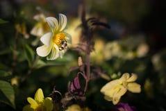 Manosee las alimentaciones de la abeja en la flor Fotografía de archivo