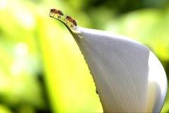 Manosee las alimentaciones de la abeja en las floraciones del arándano Foto de archivo libre de regalías