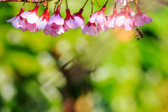 Manosee las alimentaciones de la abeja en las floraciones del arándano Fotografía de archivo