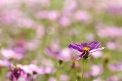 Manosee las alimentaciones de la abeja en las floraciones del arándano Fotos de archivo libres de regalías