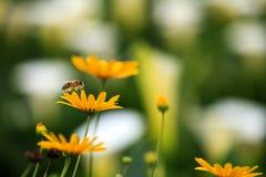 Manosee las alimentaciones de la abeja en las floraciones del arándano Fotografía de archivo libre de regalías