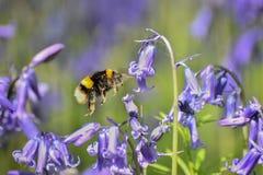 Manosee las campanillas de polinización de la abeja Fotografía de archivo libre de regalías
