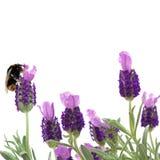 Manosee las flores de la abeja y de la lavanda Fotos de archivo libres de regalías