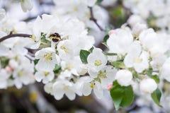 Manosee las flores de polinización del manzano de la primavera de la abeja Fotografía de archivo