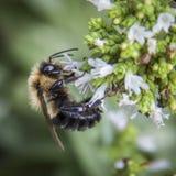 Manosee las flores de polinización del orégano de la abeja Imagen de archivo libre de regalías
