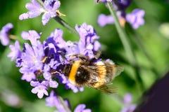 Manosee las flores de polinización de la lavanda de la abeja Imagenes de archivo