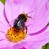Manosee las imágenes de la abeja Imagen de archivo libre de regalías