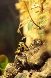 Manosee los leucomelas de Dendrobates de la rana del dardo del veneno de la abeja Imagen de archivo