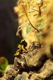 Manosee los leucomelas de Dendrobates de la rana del dardo del veneno de la abeja Imagenes de archivo