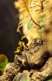 Manosee los leucomelas de Dendrobates de la rana del dardo del veneno de la abeja Imágenes de archivo libres de regalías